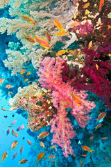 Fototapeta Shoal of anthias fish on the soft coral reef