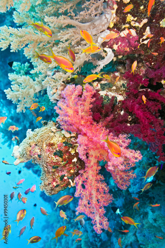 Shoal of anthias fish on the soft coral reef  - 99450301
