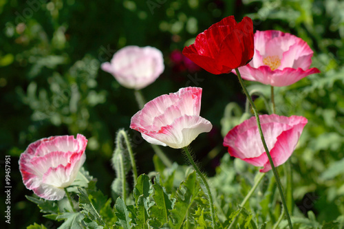 Fototapety, obrazy: Poppy flowers in the garden