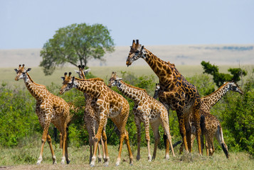 FototapetaGroup of giraffes in the savanna. Kenya. Tanzania. East Africa. An excellent illustration.