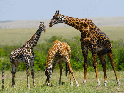 Group of giraffes in the savanna Plakát
