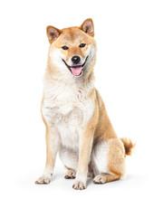 Shiba Inu Isolated On A White Background
