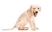 Winking Labrador Retriever Puppy Isolated On A White Background