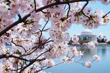 Cherry Blossoms In Washington,...