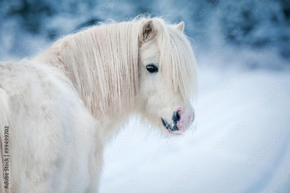 Fototapety, obrazy: Portret białego kucyka szetlandzkiego w zimie