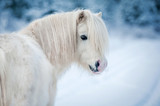 Portrait of white shetland pony in winter