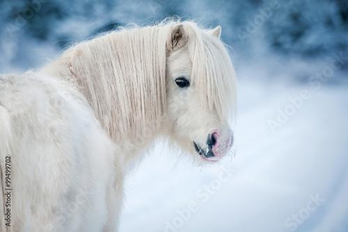 Obraz Portret białego kucyka szetlandzkiego w zimie - fototapety do salonu
