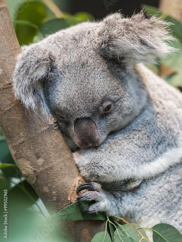 Staande foto Koala Close-up of a koala bear