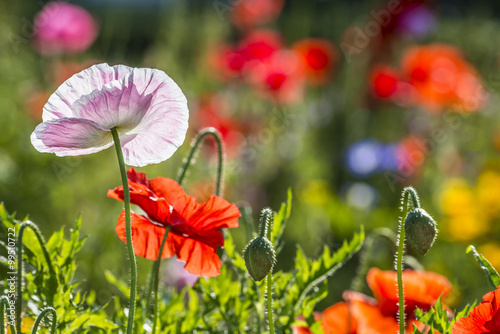 Fototapety, obrazy: spring meadow with red poppies