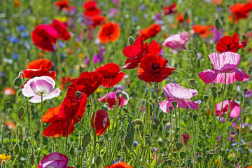 Fototapetaspring meadow with red poppies