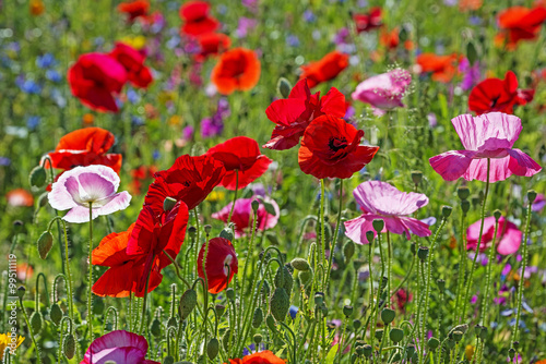 spring meadow with red poppies Canvas Print