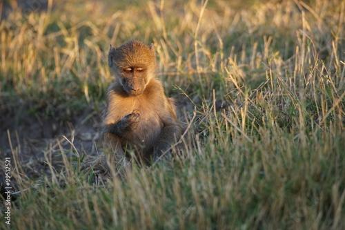 Poster Monkey Lief klein aapje observeert....