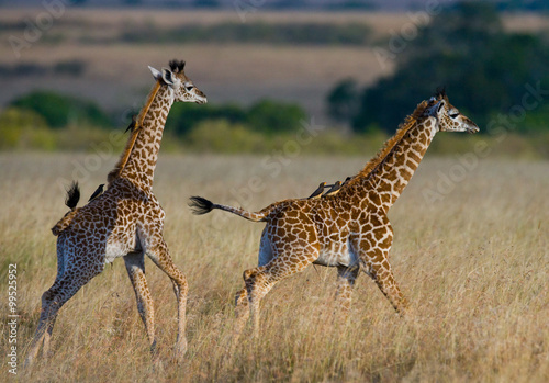Two baby giraffe in savanna Plakát
