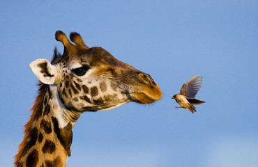 FototapetaGiraffe with bird. A rare photograph. Kenya. Tanzania. East Africa. An excellent illustration.