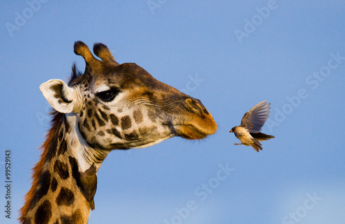 Spoed Foto op Canvas Giraffe Giraffe with bird. A rare photograph. Kenya. Tanzania. East Africa. An excellent illustration.