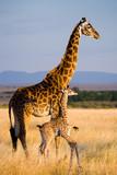 Kobieta żyrafa z dzieckiem na sawannie. Kenia. Tanzania. Wschodnia Afryka. Doskonała ilustracja.