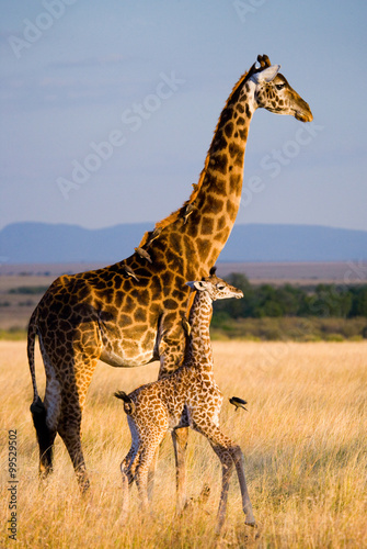 Fényképezés  Female giraffe with a baby in the savannah