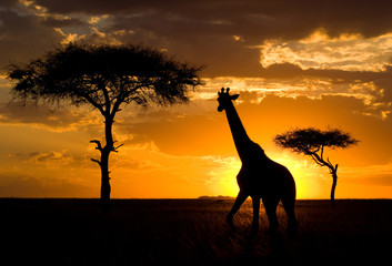 FototapetaGiraffe at sunset in the savannah. Kenya. Tanzania. East Africa. An excellent illustration.