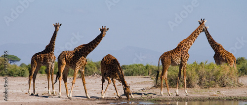 Poster Giraffe Group of giraffes at the watering. Kenya. Tanzania. East Africa. An excellent illustration.