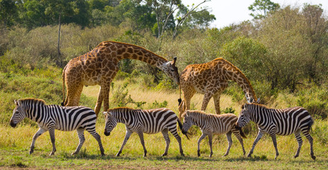 FototapetaTwo giraffes in savannah with zebras. Kenya. Tanzania. East Africa. An excellent illustration.
