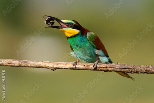 European bee eater with a bee in its beak Wallpaper Mural