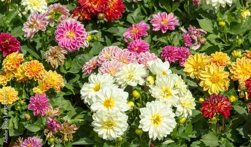 In de dag Dahlia Dahlia garden in various colors
