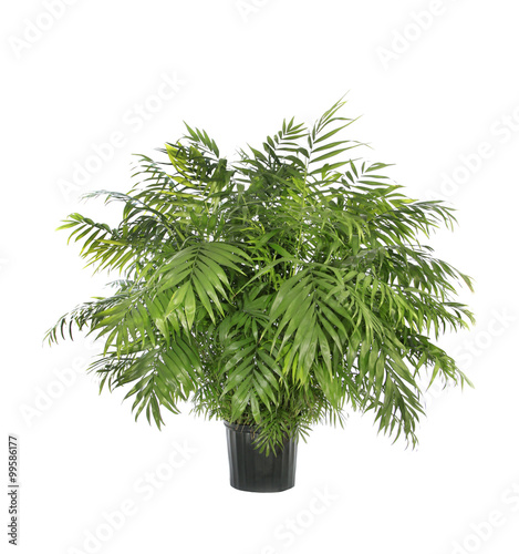 Garden Poster Plant Potted Neamthabella Palm Isolated on White