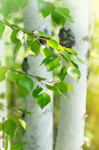 Young birch trees with white trunks and fresh green leaves