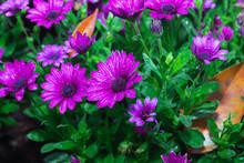 Osteospermum Flowers