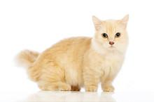 White Cat Munchkin On White Background