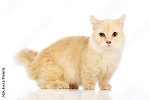 Fotografie, Obraz  White cat Munchkin on white background