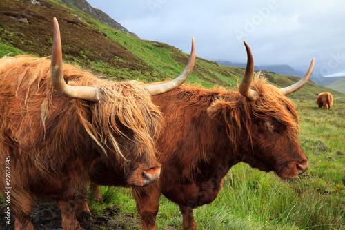 Fototapeta Highland cows in Skye Island obraz