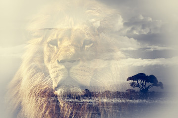 Obraz na PlexiDouble exposure of lion and Mount Kilimanjaro savanna landscape.