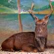 Brown deer in zoo cage