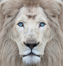 White Lion With Blue Eyes Portrait, Looking Straight At The Camera