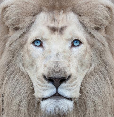 Plakat Biały lew z niebieskimi oczami
