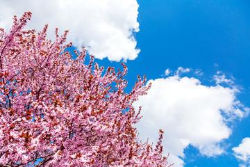 FototapetaPink blooming magnolia tree on a blue sky background