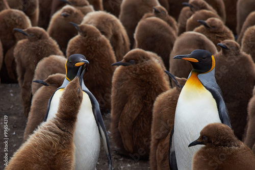 Tuinposter Pinguin Adult King Penguins (Aptenodytes patagonicus) standing amongst a large group of nearly fully grown chicks at Volunteer Point in the Falkland Islands.