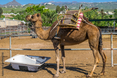 Photo  Camel at Timanfaya National Park, Lanzarote, Canary Islands, Spain
