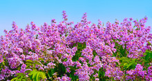 Inthanin Flower