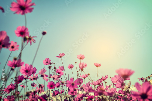 Poster Universe Landscape of cosmos flower field with sunlight blue sky. vintage color tone
