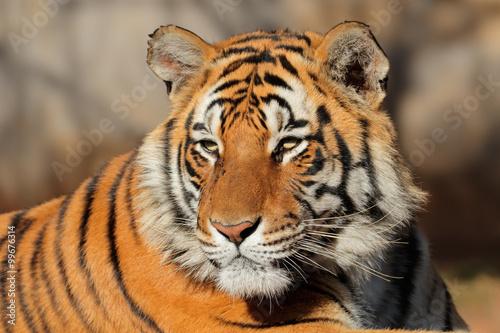 Spoed Foto op Canvas Tijger Portrait of a Bengal tiger (Panthera tigris bengalensis).