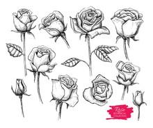 Vector Hand Drawn Botanical Rose Set. Engraved Collection