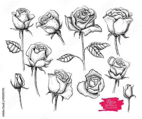 Fototapety, obrazy: Vector hand drawn botanical rose set. Engraved collection