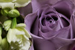 canvas print picture Mauve Rose
