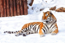 Beautiful Tiger Is Laying Down On The Snow Background