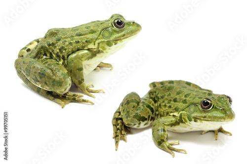 Foto op Plexiglas Kikker light green frog on a white background