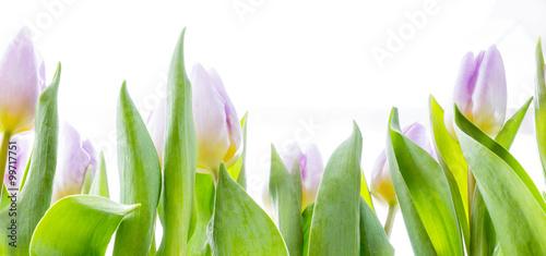 rozowi-tulipany-przed-bialym-tlem