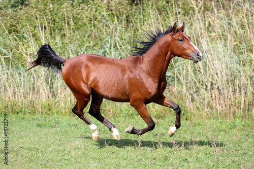 Fotografía  Arabian breed horse galloping across a green summer pasture
