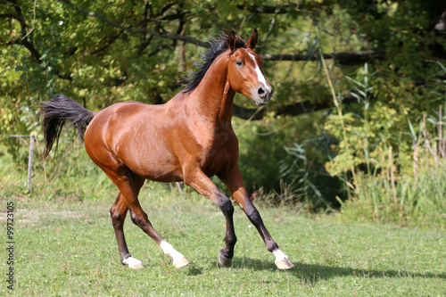 Shot of a galloping young arabian  stallion on pasture